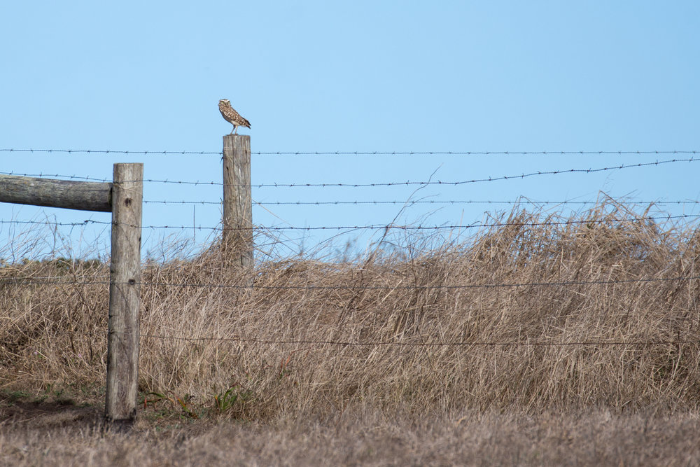pointreyes_burrowingowl2.jpg