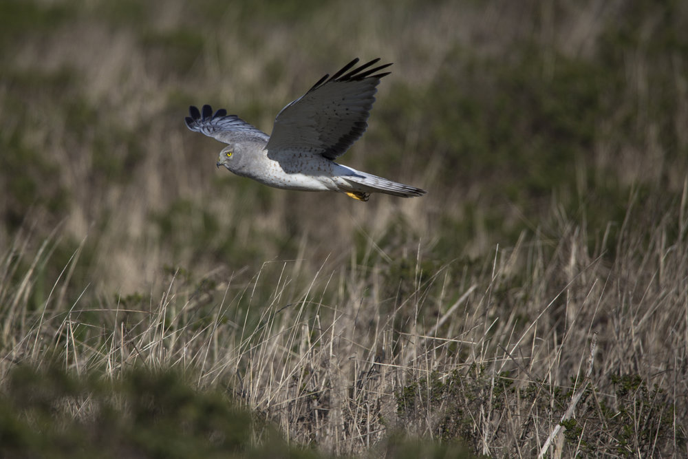 northernharrier1.jpg