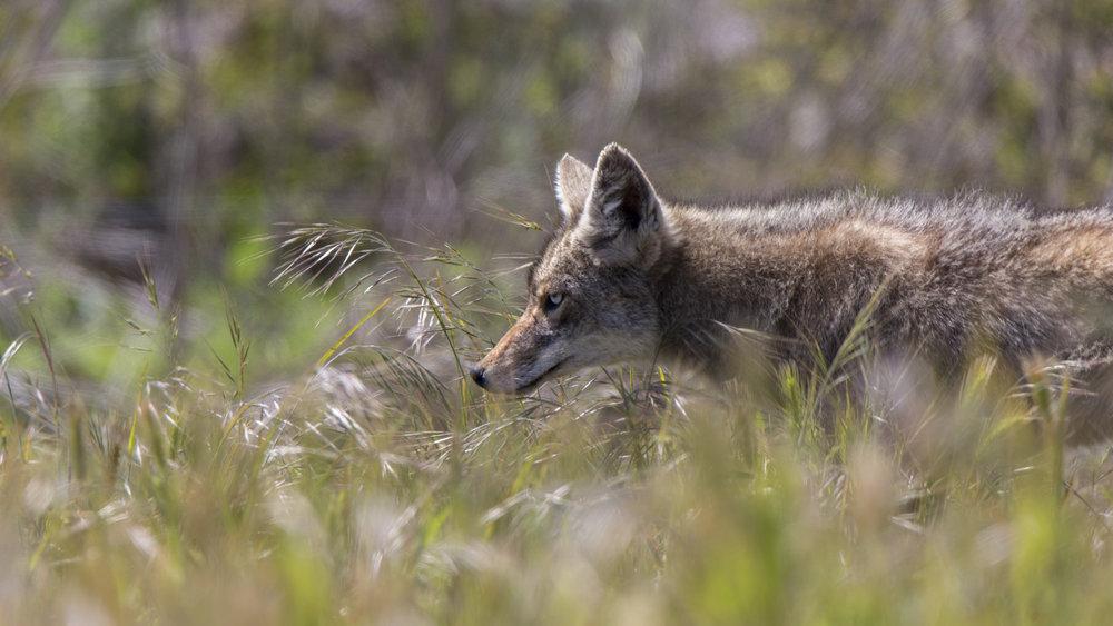 coyote1 copy.jpg