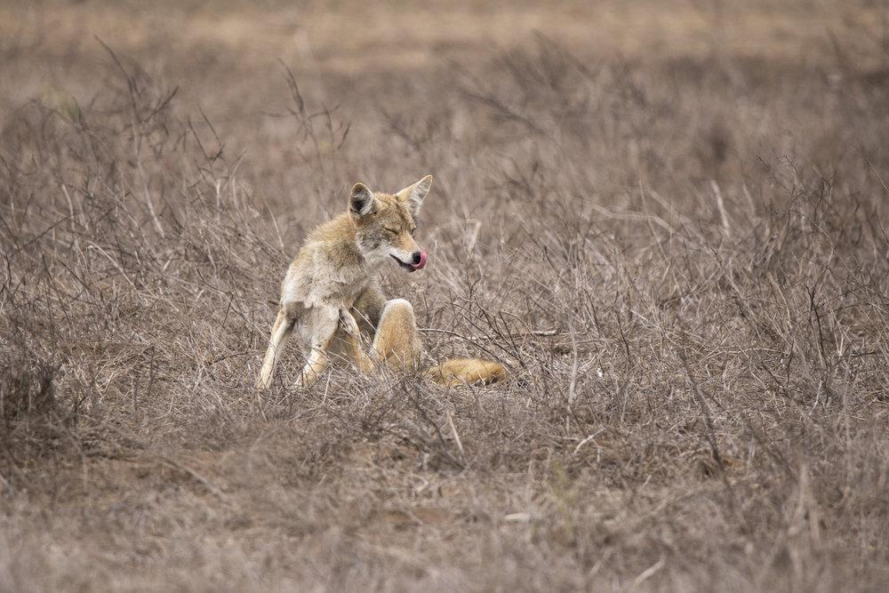 ptreyes_coyote1.jpg