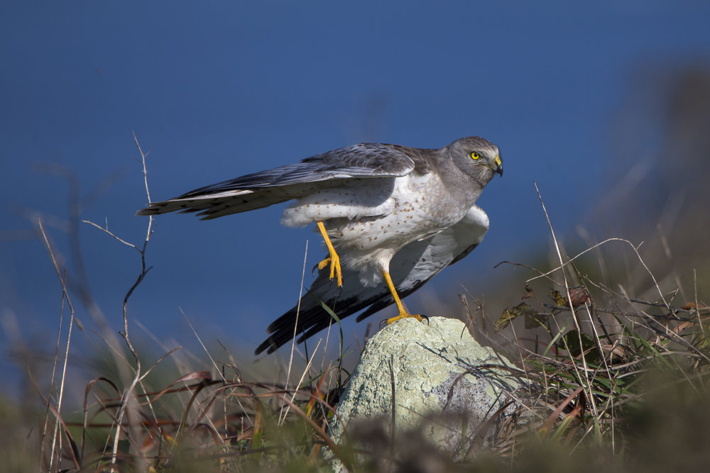 pointreyes_northernharrier3.jpg
