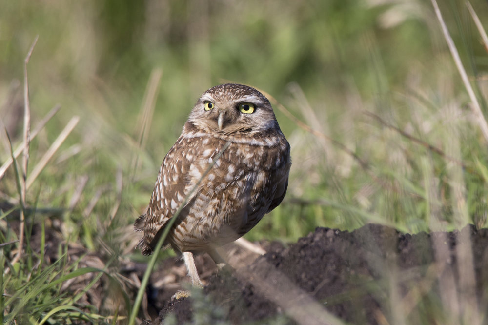 pointreyes_burrowingowl9.jpg