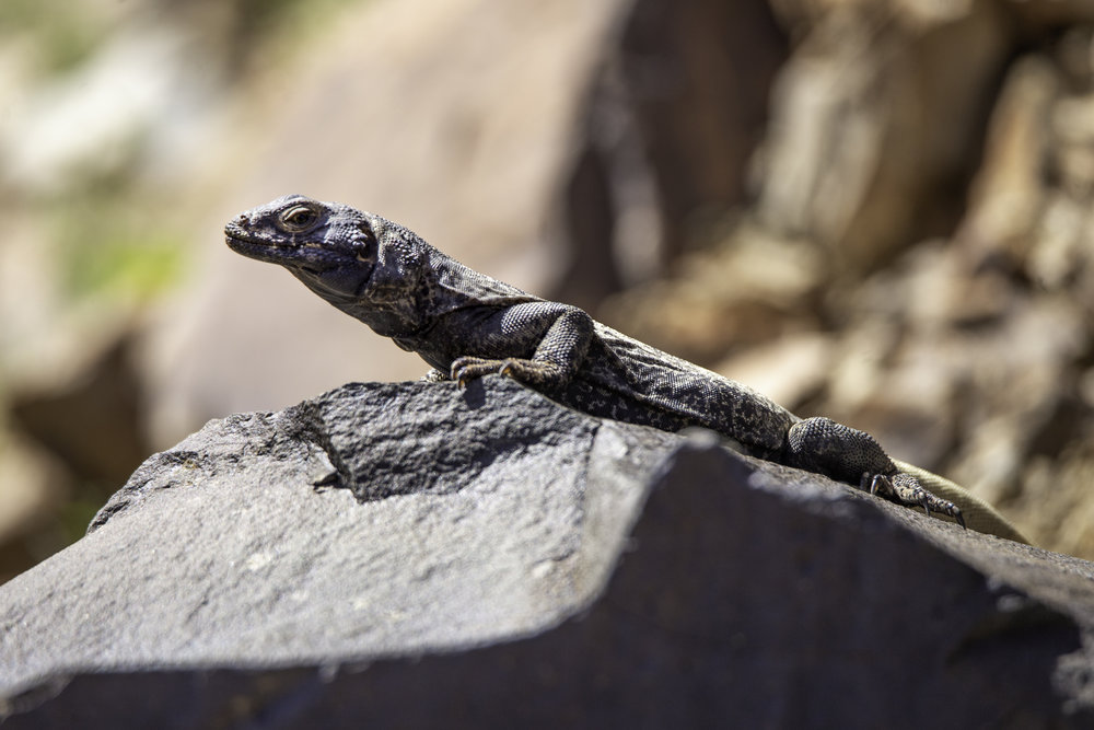deathvalley-chuckwalla3.jpg