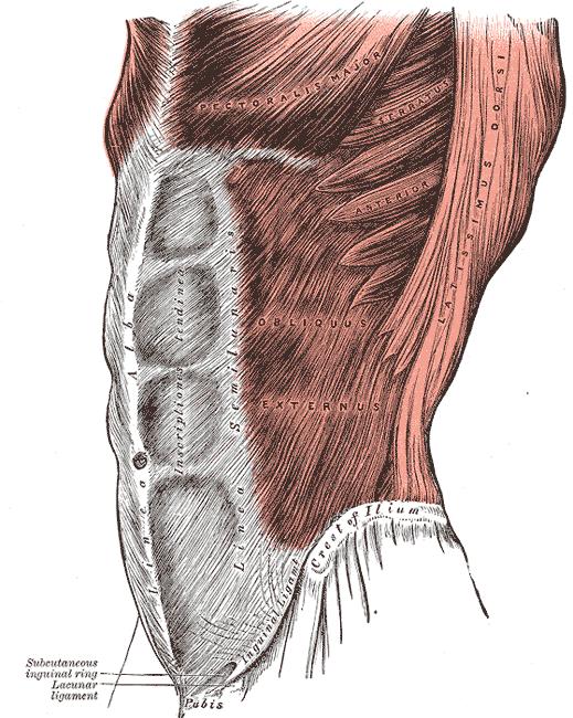 Abdominal Wall Muscular Anatomy