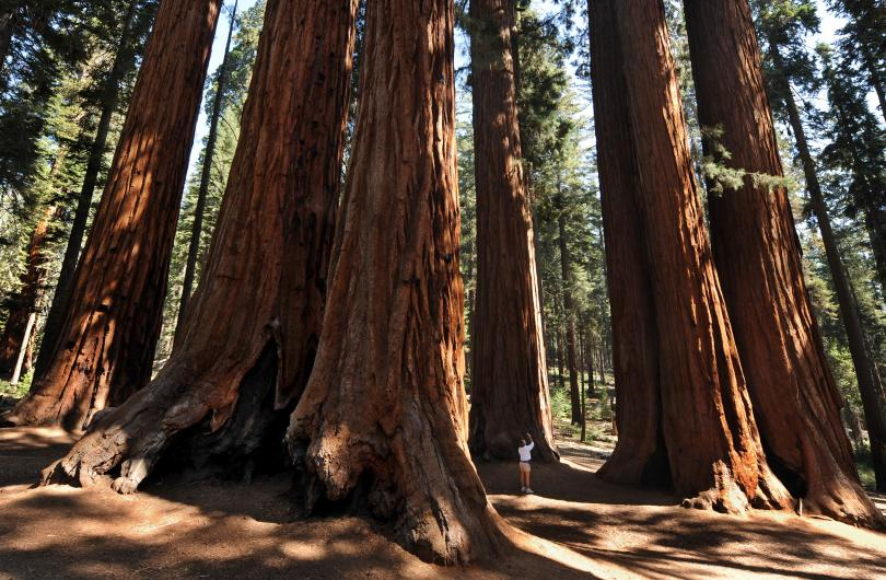 Giant Sequoia Trees at Sequoia National Park, CA.  Photo courtesy of Getty Images/Mark Ralston.