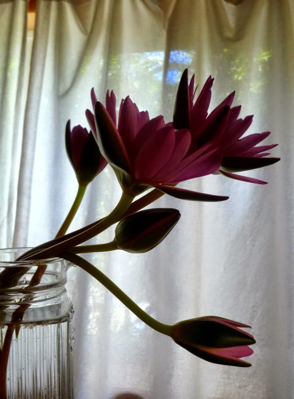 water+lilies-013.JPG