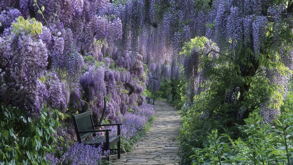 germany-wisteria_00267451-1light1.jpg