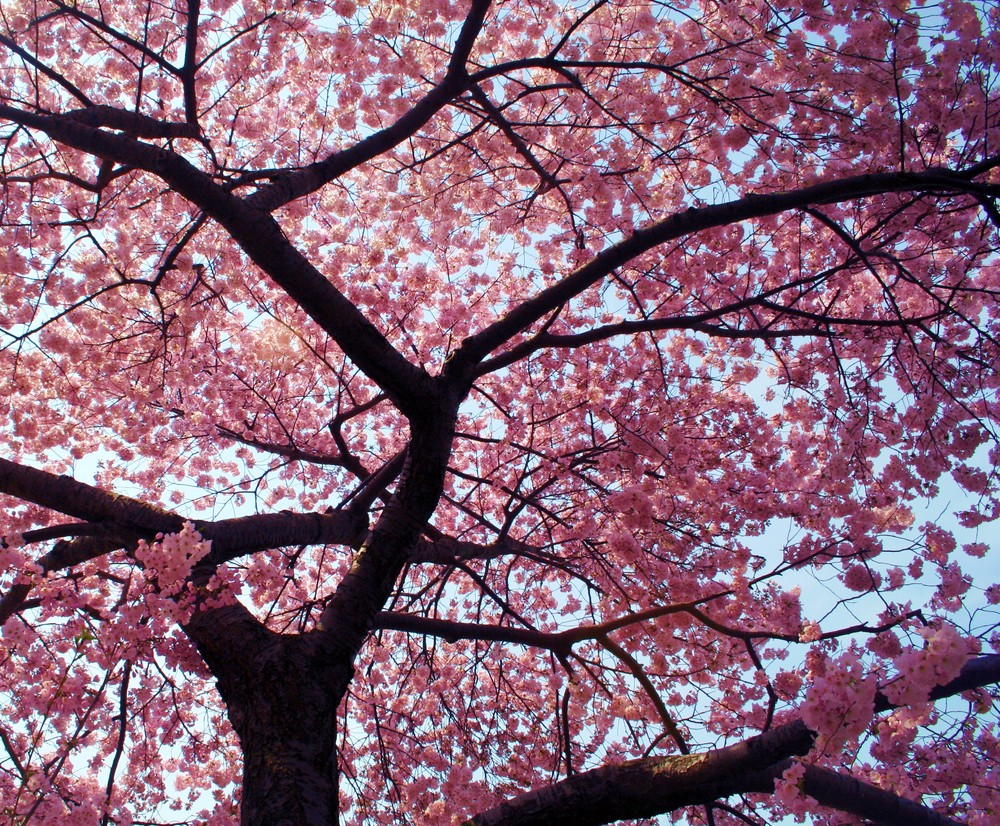 spring_cherry_blossoms_13493323951.jpg