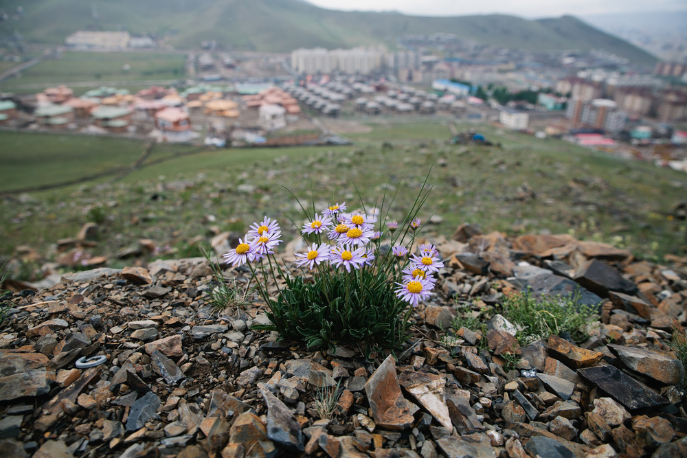 Beautiful wildflowers overlooking Ulaan Baatar
