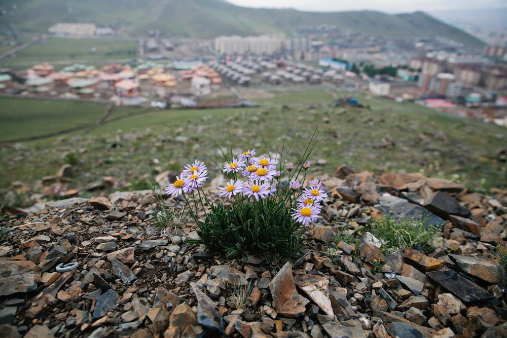 Beautiful wildflowers overlooking Ulaan Baatar
