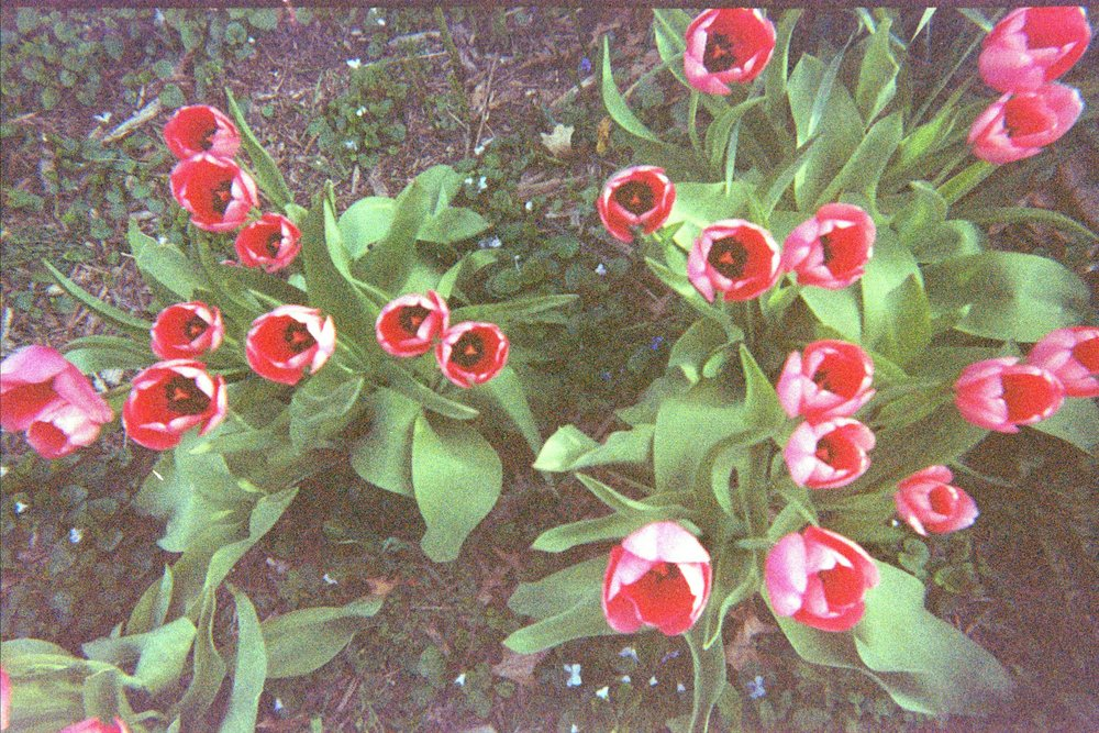 film photo of tulips