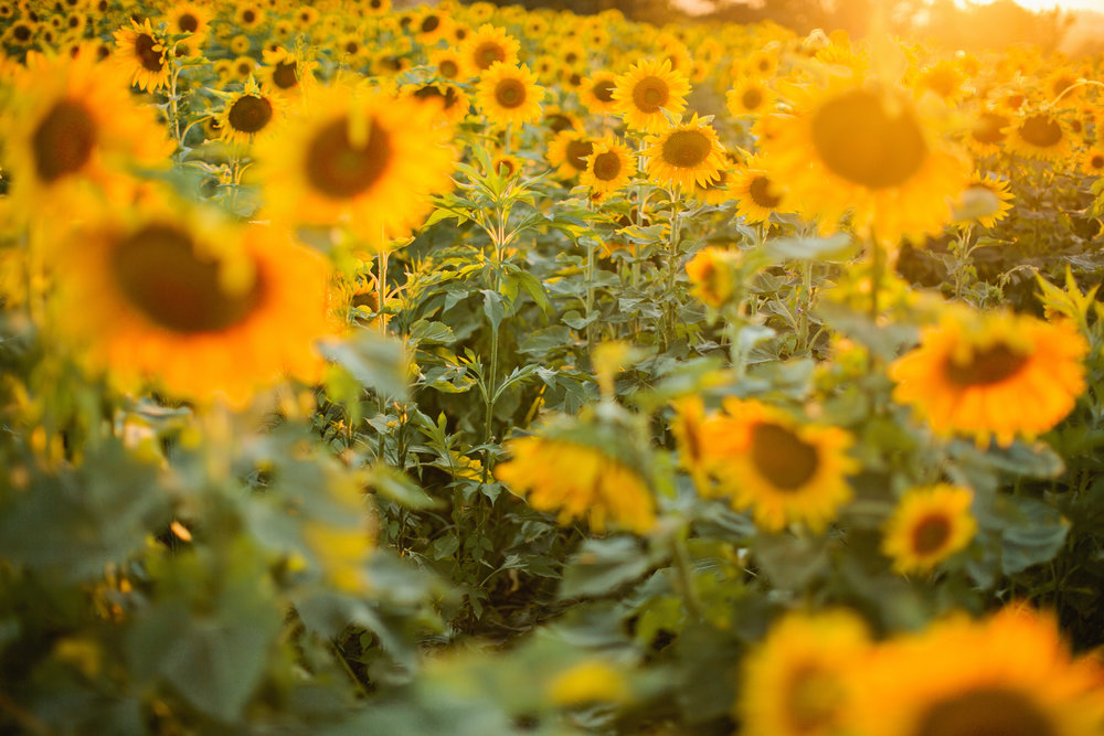 iowa-sunflower-field-16.jpg