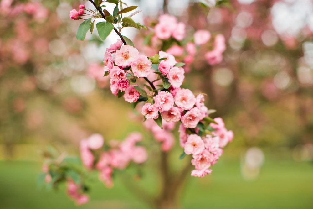 spring cherry trees Des Moines amelia renee photography