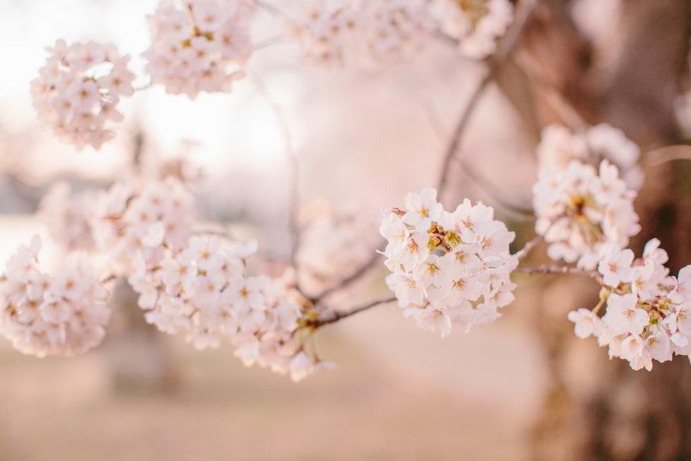 Cherry Blossoms Engagement Session | Tidal Basin | DC Wedding Photographer
