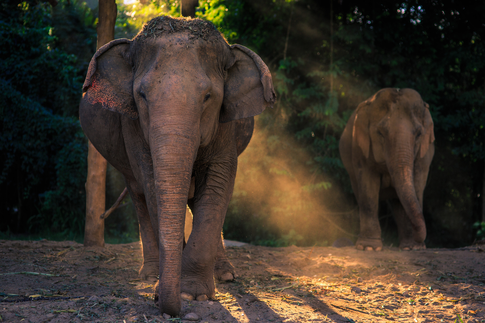 Two elephants wait for dinner as the sun sets at an elephant sanctuary in northern Thailand.