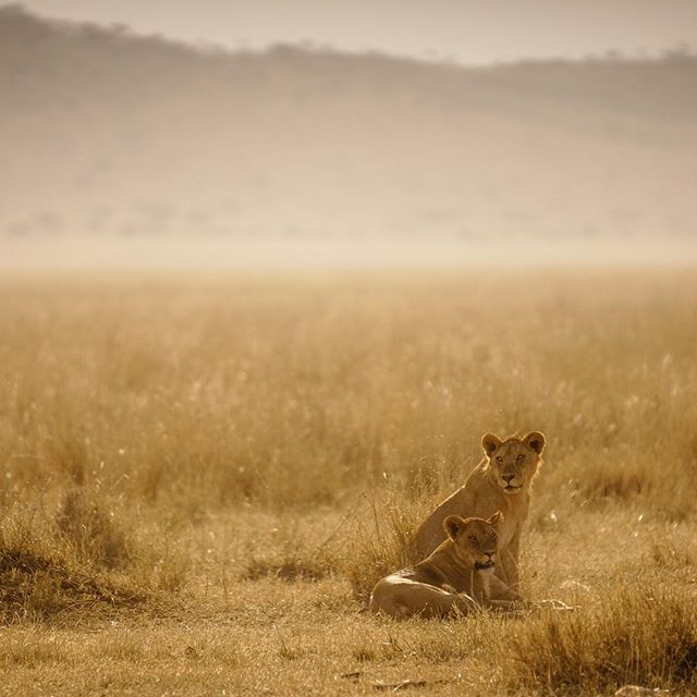 Lions & Light - Serengeti National Park, Tanzania with @thegivinglens. #ResourceTravel #Caturday #Lion #Africa #Serengeti