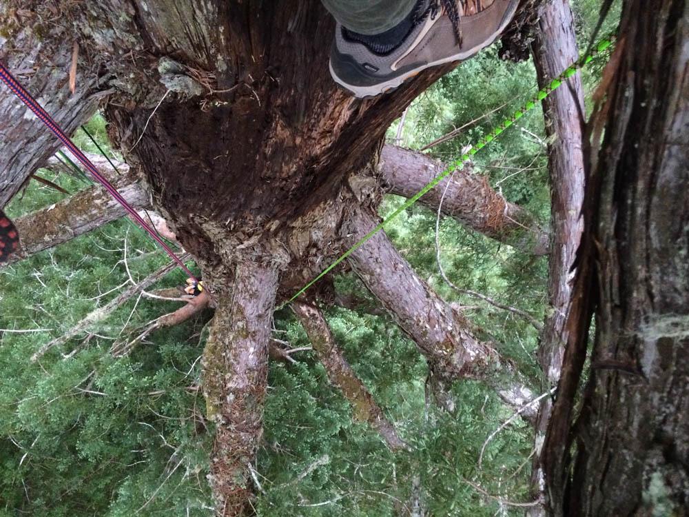 Moloughney Designs Big tree research 09