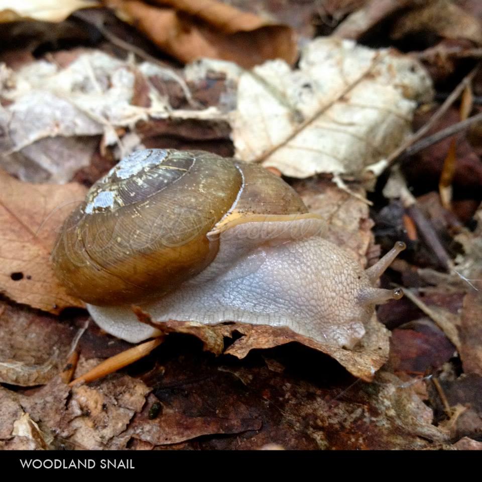 Woodland Snail.jpg