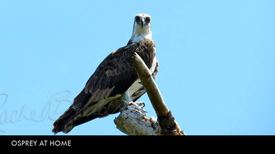 Osprey at Home.jpg