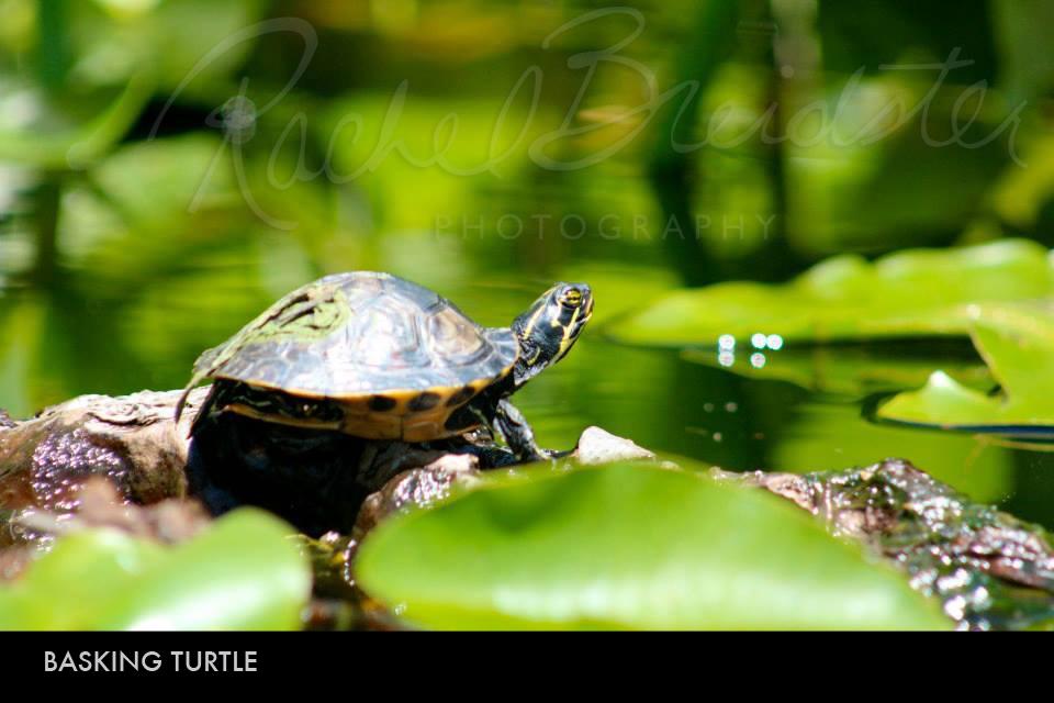 basking-turtle2.jpg