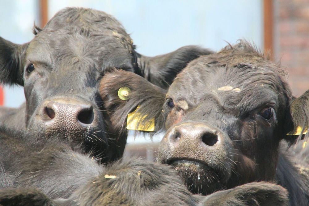 cows-175561_1920.jpg