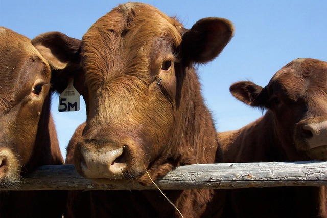 Feed Budgeting?    Deciding whether to sell, finish or feedlot your stock?   Let's take the guesswork out!