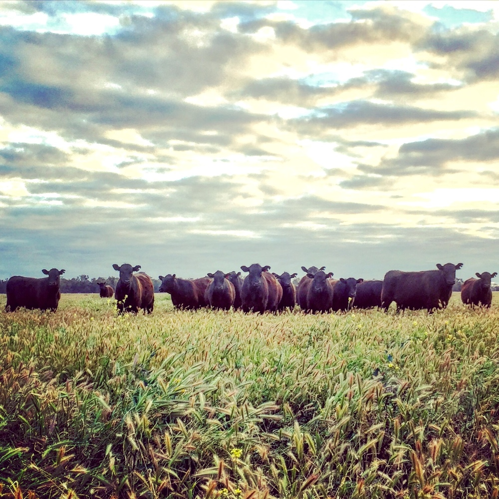 Looking for Beef Production information?   LOOK NO FURTHER