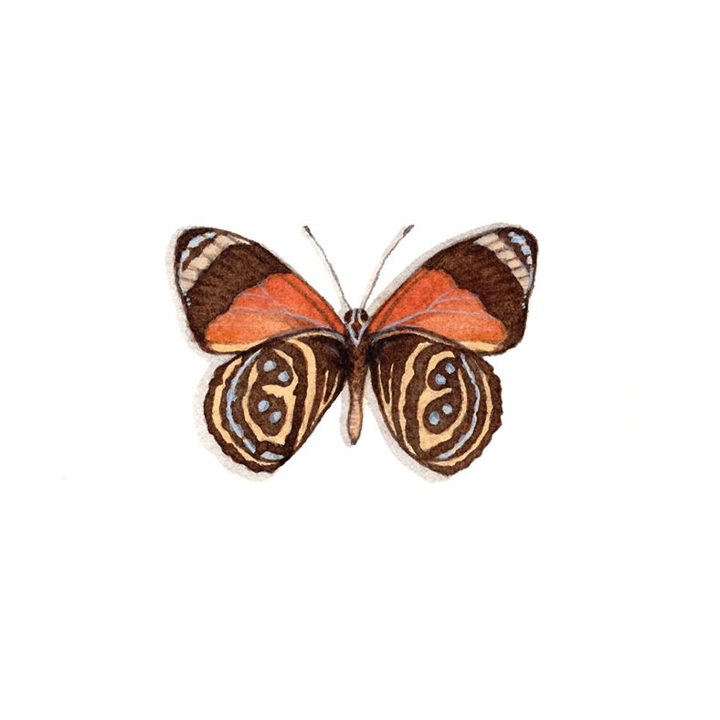 F for Figure-of-Eight Butterfly