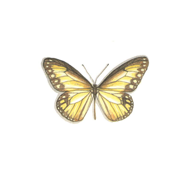 Ideopsis