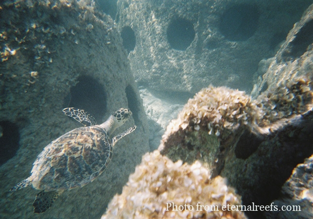 Eternal-Reefs-8-Turtle-in-Reef-Balls.jpg