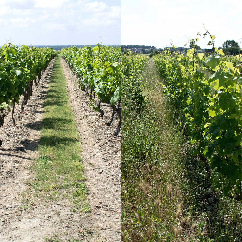 FIGURE1: A conventional versus a biodynamic vineyard.