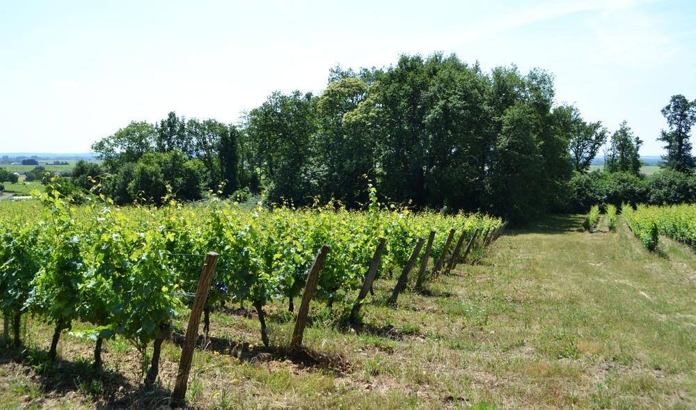 Figure 4: Wildlife patches within Xavier Amirault's vineyard in Saint-Nicolas de Bourgeuil.