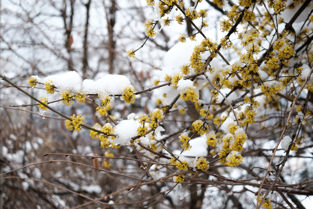 Snow-capped blossoms