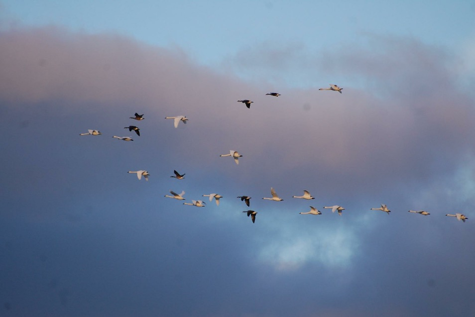 Have you ever seen geese and swans sharing a V formation? Spotted and photographed in Harbor Beach by Rita Messing, O.D.