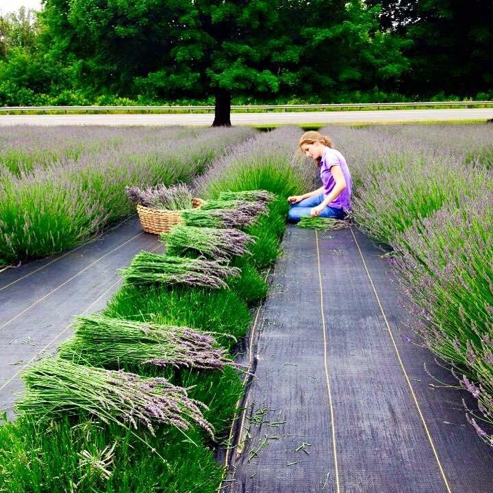 Olivia Harvesting.JPG