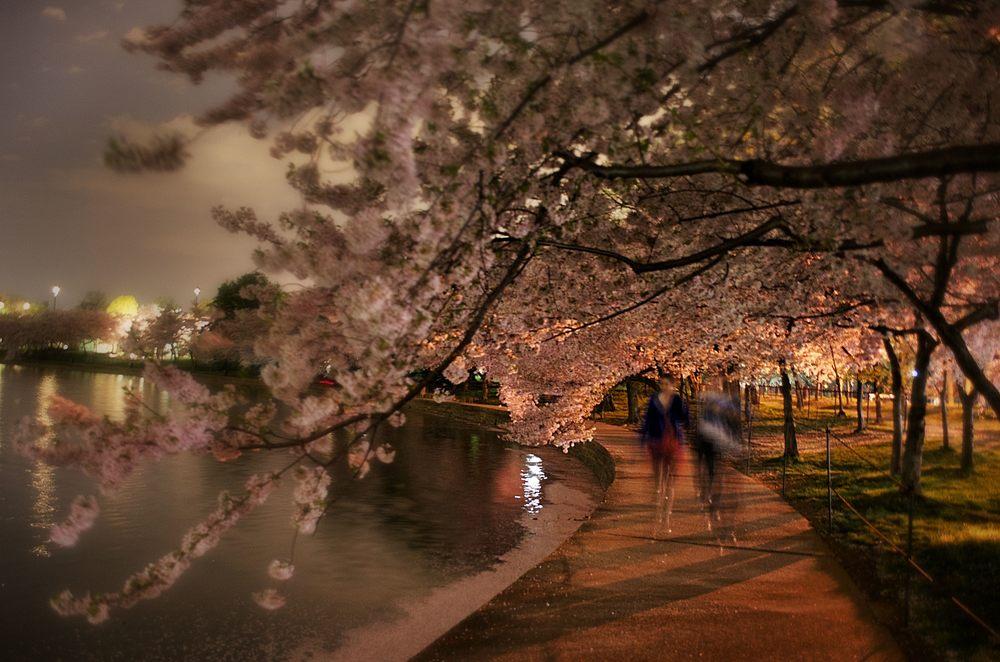 Cherry_Blossom2.jpg