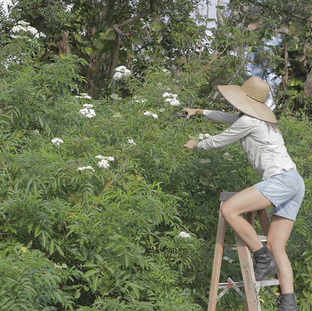 *Happy Birthday to Farmer & Herbalist Gabi of Mother Earth Miami!* Let's wish this humble & big hearted soul a happy birthday 🌸🌼🌺🌾🍁🌿🌻. I'm so lucky to have her as a friend, business partner, & aunty to my dogs 👩🏻🌾. She teaches me everyday so much, and she reminds me to stop, look, and study the weeds, and to keep working on my dreams. I truly wish that all of her dreams come true. ✨Love & peace, Katia. 📸 @gabisigabi in her element harvesting elder flowers. . *¡Felíz Cumpleaños a la Yerberita y Jardinera Gabi de Mother Earth Miami!* Deseamosle a esta mujer que es humilde y de corazón grande un felíz cumpleaños 🌸🌼🌺🌾🍁🌿🌻. Tengo tanta suerte de tenerla como amiga, socia y tía para mis perros 👩🏻🌾. Ella me enseña tanto todos los días, y me recuerda detenerme, mirar y estudiar las hierbas, y seguir trabajando en mis sueños. Realmente deseo que todos sus sueños se hagan realidad. ✨Amor y paz, Katia. 📸 @gabisigabi en su elemento cosechando flores de saúco.