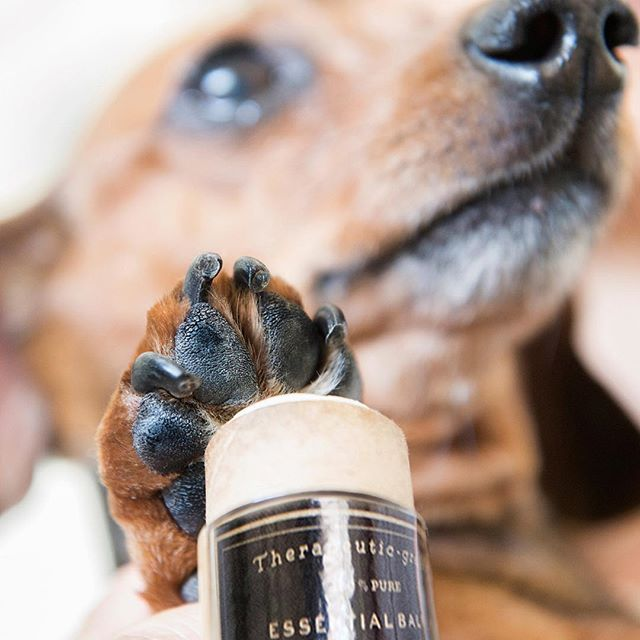 The softest paw 🐾 ever. #therapeuticgrade . . . #essentialoils #theapethecary #dog #dogs #soft #balm #lovemydog #dogs #weinerdog #dogofinstagram #natural #vegan #doggrooming #dogsalon #petcare