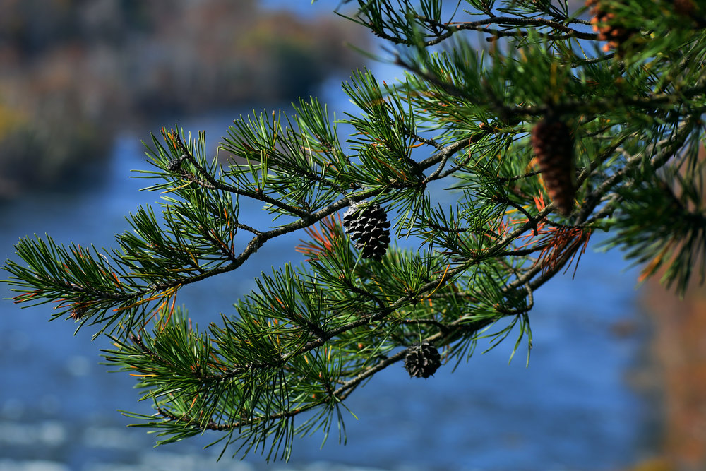 Harpers_Ferry_Pinecone_Final.jpg