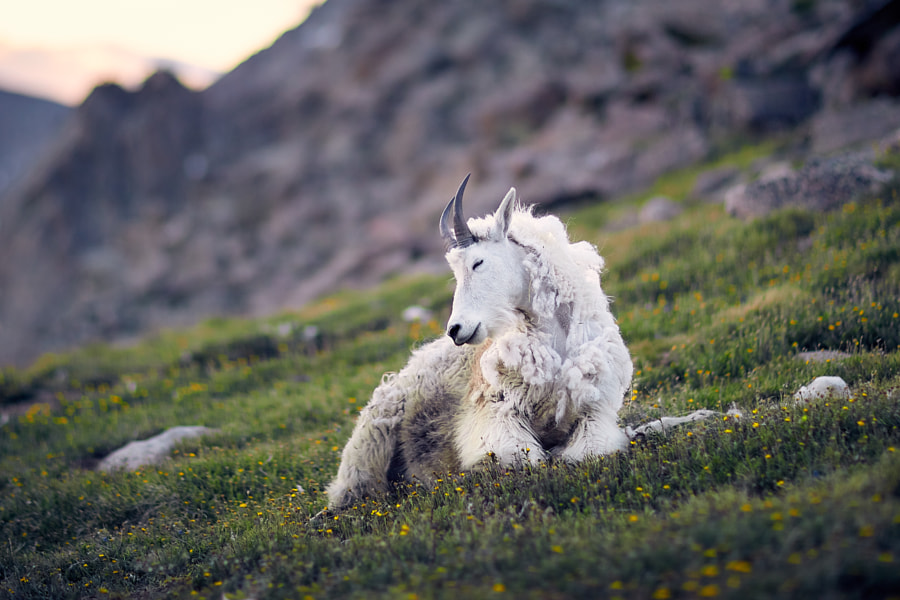 A Sleepy Mountain Goat