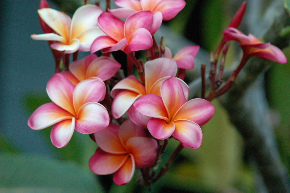 PROPERTY-GARDENS-pink hawaii flowers.jpg