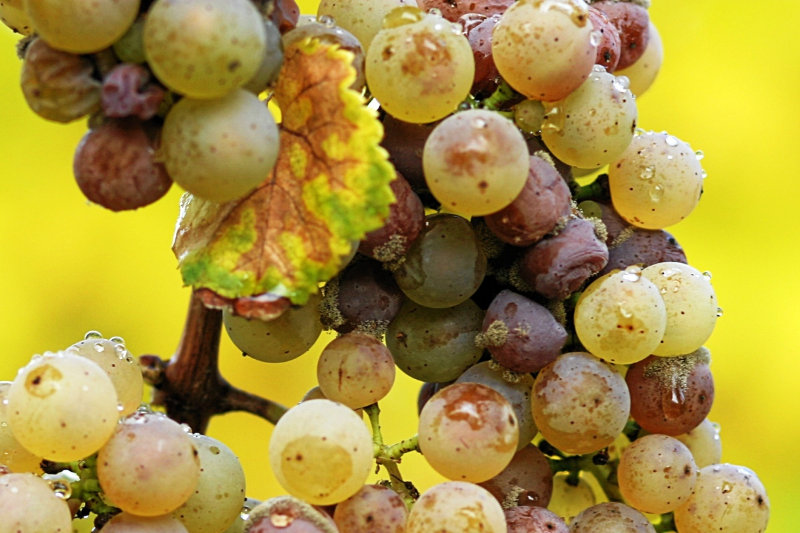 Noble Rot (Botrytis Cinerea)