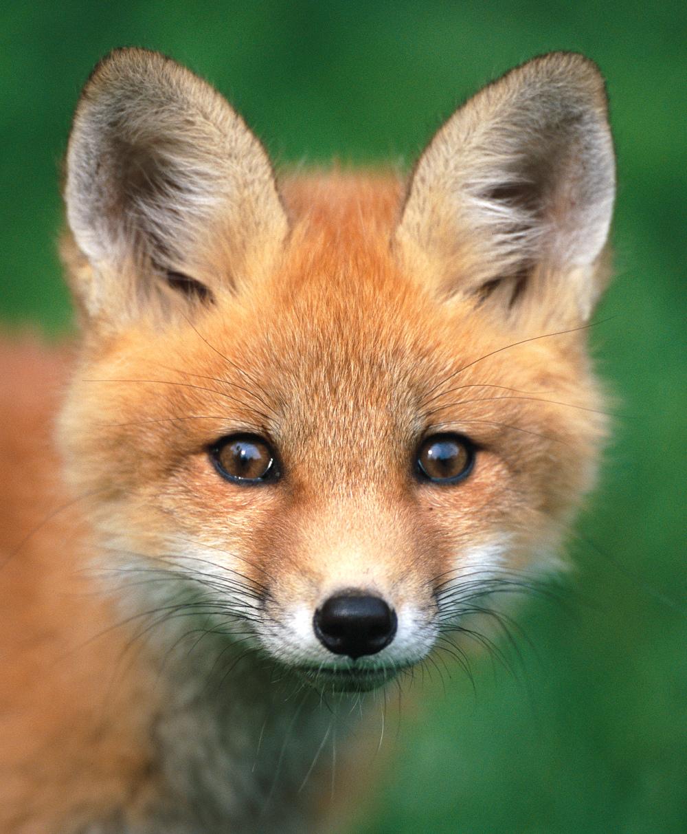 Staring Fox (11x14).jpg