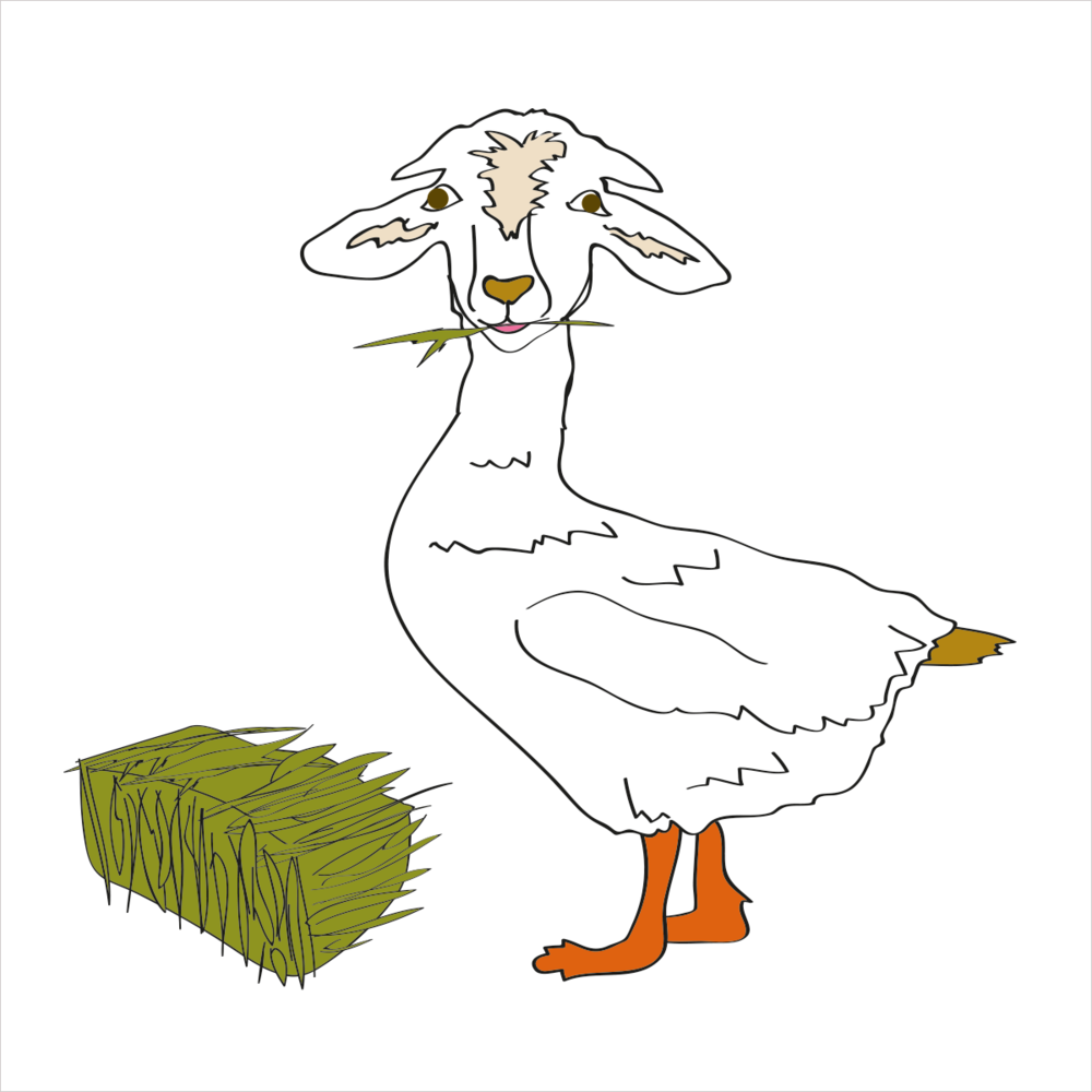 He is sweet and gentle and swims in a straight line. He is DUCKGOAT