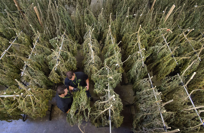 Co-owners Taylor, left, and Garrett Balduff inspect some of the approximately 300 marijuana plants hanging to dry in the Forbidden Farms processing facility on the Tacoma Tideflats on Tuesday, Oct. 11, 2016. Drew Perine dperine@thenewstribune.com