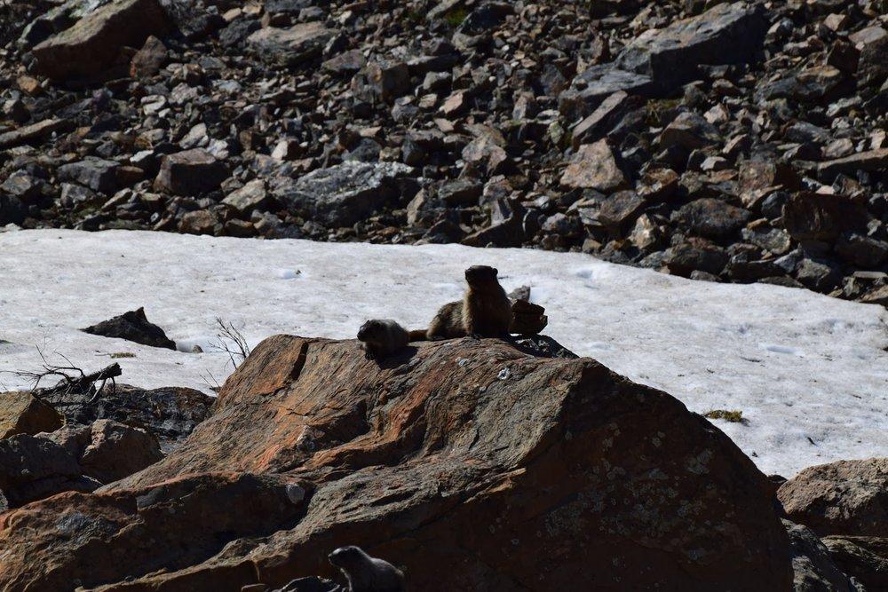 Marmots, Jasper National Park, Alberta