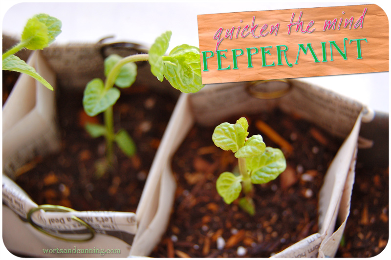 mentha piperita peppermint mint herb
