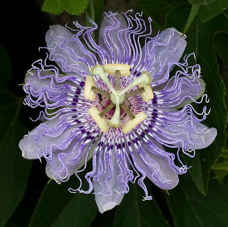 Passionflower by Oliver P. Quillia