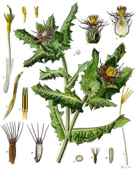 Blessed Thistle from  Franz Eugen Köhler's  Köhler's Medizinal-Pflanzen