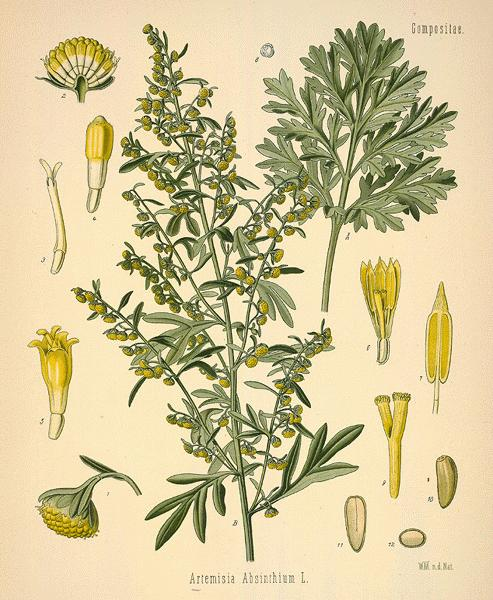 Wormwood via  botanical.com